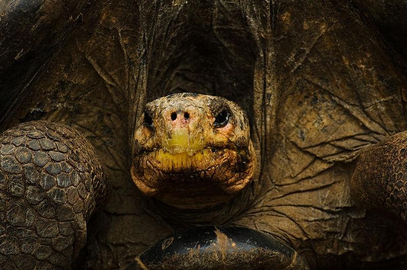 Galápagos tortoise | Photo courtesy of Wikimedia Commons
