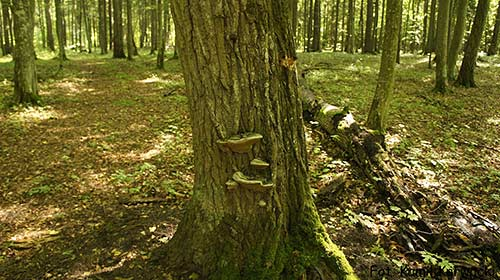 This fungus found of a tree in Bialowieza Forest is a type of polypore, a group of fungi that UM researchers are studying for potential medicinal properties.