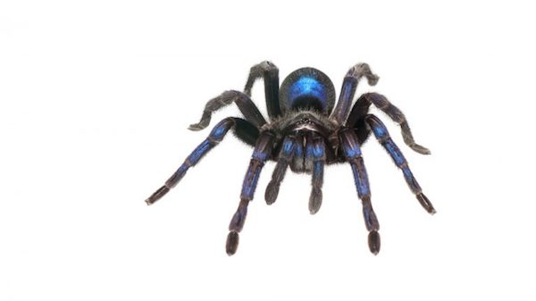 During a spring 2014 expedition to Guyana, UM doctoral student Andrew Snyder happened upon a cobalt-blue tarantula, which is believed to be an undescribed species. Submitted photo by Andrew Snyder