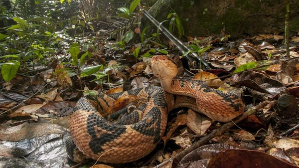 Guyana has one of the highest levels of biodiversity in the world, including several species of snake, such as the venomous Bushmaster. Submitted photo by Andrew Snyder