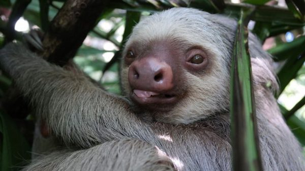 Maya Kaup's research on sloths focuses on two species: Hoffmann's two-toed sloth and the brown-throated three-toed sloth. All sloths actually have three toes. Submitted photo by Maya Kaup