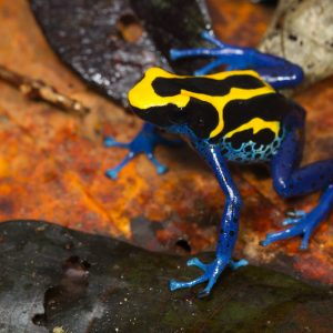 JP Lawrence photo of poison frog.
