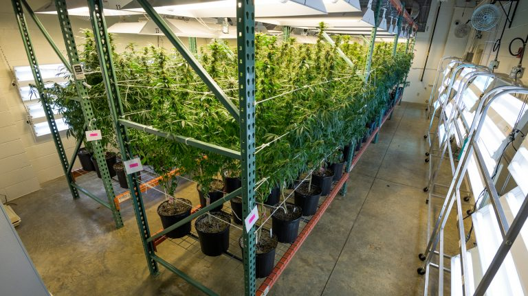 The university cultivates and produces cannabis products as part of a contract with the National Institute on Drug Abuse. UM researchers also have been studying compounds found in the plants as a source for potential drug candidates to relieve pain and treat a variety of conditions. Photo by Robert Jordan