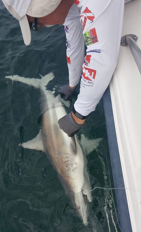 Glenn Parsons checks out a blacktip shark during a research trip in the Gulf of Mexico. Submitted photo