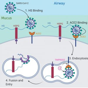 This illustration shows the path of COVID-19 as it enters and infects cells inside the human respiratory system. Submitted graphic